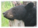 Our Black Bear hunts are conducted over bait with a very high success rates for trophy bears. Our hunting area is large, therefore baits are miles apart resulting in very light pressure on each bait location. We allow gun, bow, black powder and crossbow hunts. Each bait site with required stand is ready on arrival. Bear hunts include 5 day and 6 nights lodging with 2 home cooked meals per day and a